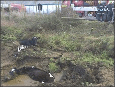 Picture of cows stuck in slurry pit courtesy of BBC – These were rescued and returned to their field!